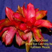 image bg-most-eye-catching-neoregelia-jpg