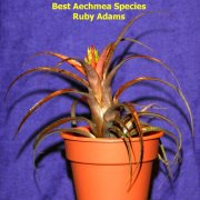 image bh-john-anderson-best-aechmea-species-jpg