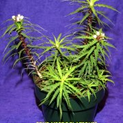 image bi-bob-whitman-best-cryptanthus-species-jpg