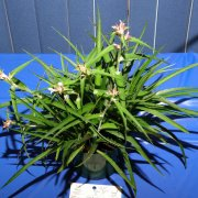 image div-iii-section-c-bromelioideae-multiple-blooming-jpg