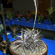image div-v-section-c-horticultural-displays-two-or-more-adult-plants-blooming-jpg