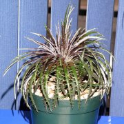 image novice-entry-dyckia-dawsonii-jpg