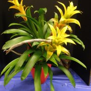 image 37-Lemon-Zest-Guzmania-Cecilia-AM.jpg