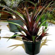 image 51-excellence-vriesea-lubbersii-jpg