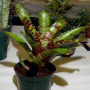 image 68-merit-neoregelia-screaming-tiger-jpg