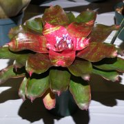 image 41-merit-neoregelia-small-world-jpg