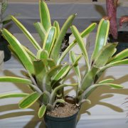 image 37-award-of-merit-aechmea-nudicaulis-flavomarinata-jpg