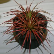 image 39-award-of-merit-orthophytum-navidioes-jpg