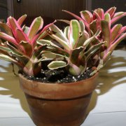 image 44-award-of-merit-neoregelia-pink-powder-jpg