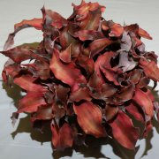 image 46-award-of-merit-cryptanthus-cranberry-jpg
