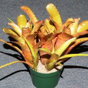 image 49-award-of-excellence-neoregelia-golden-chalice-jpg