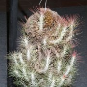 image 54-award-of-excellence-tillandsia-funckiana-jpg