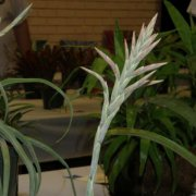 image 55-award-of-excellence-tillandsia-didisticha-jpg