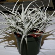 image 57-award-of-excellence-tillandsia-leonamiana-jpg
