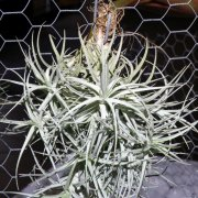 image 58-award-of-merit-tillandsia-sweet-isabell-jpg