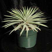 image 04-best-of-div1-seca-dyckia-hebdingii-spineless-jpg