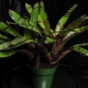 image 13-best-of-div4-seca-neoregelia-blueberry-tiger-jpg
