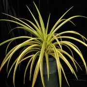 image 15-best-of-div5-neoregelia-harveys-original-x-sincoraea-navioides-jpg