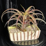image 25-best-of-div9-tillandsia-love-knot-jpg