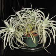 image 42-award-of-merit-tillandsia-harrisii-jpg