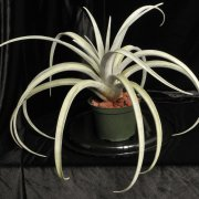 image 43-award-of-merit-tillandsia-chiapensis-jpg