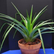 image 44-award-of-merit-tillandsia-secunda-jpg