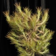 image 50-award-of-merit-tillandsia-funckiana-small-form-jpg
