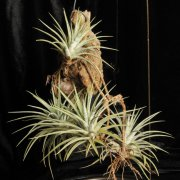 image 63-award-of-merit-tillandsia-espinosa-jpg