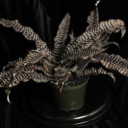 image 75-award-of-merit-cryptanthus-black-mystic-jpg