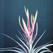 image 03-div1-tillandsia-miami-magic-jpg