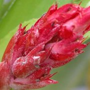 image aechmea-recurvata-bloom-jpg